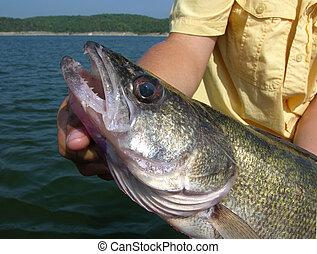 Walleye - Trophy walleye caught in Missouri