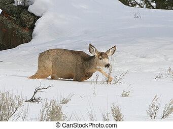 Deep snow - Mule deer doe in deep mountain snow