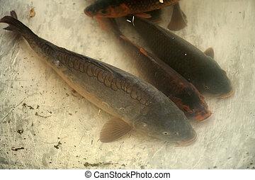 Carp fish in a washtub