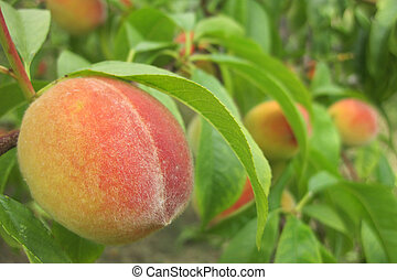 peach as nice fruit food natural background - peach on the...