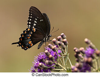 Spicebush swallowtail butterfly in the Missouri Ozarks