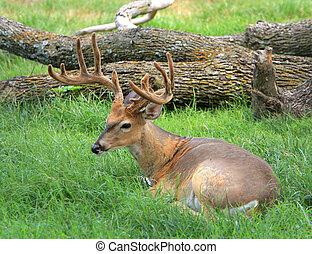 Buck in velvet - Buck deer with velvet still on antlers