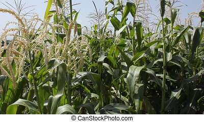 Cornfield 11 - Agriculture field with corn.