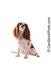 Cavalier King Charles Spanial - A Cavalier King Charles...