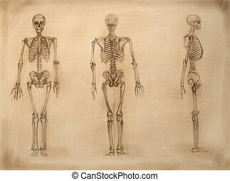 academic drawing skeletons - OLYMPUS DIGITAL CAMERA