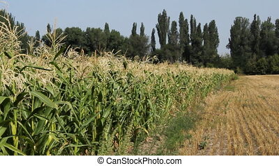 Cornfield 7 - Agriculture field with corn.