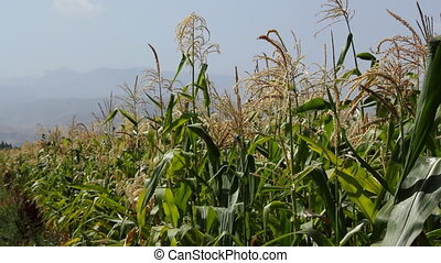 Cornfield 6 - Agriculture field with corn.