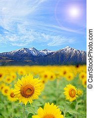 Sunflower Field alps - Sunflower Field with perfect sunny...