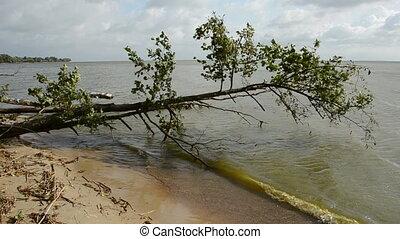 leaning tree on the sea coast