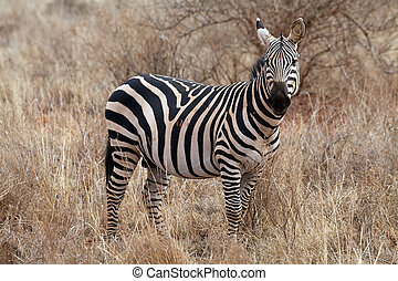 Plains zebra (Equus burchellii) portrait