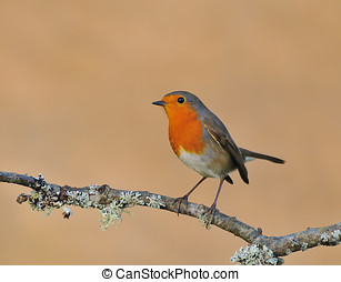 Robin. - Robin perched on branch.