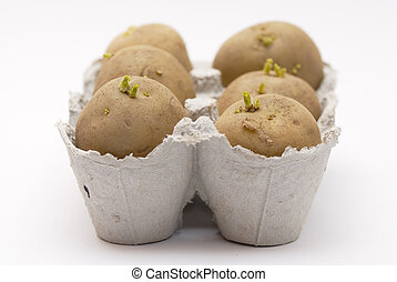 Six potatoes chitting (sprouting) in an egg carton. -...