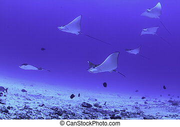 Eagle rays mexico - A large group of harmless eagle rays...