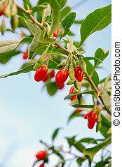 goji berry 06