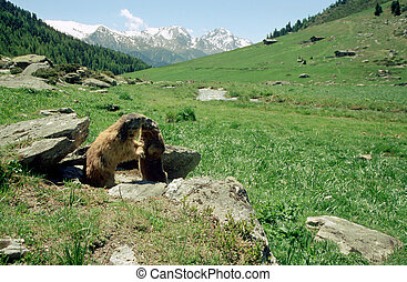 Marmots kissing in french alps - Two marmots kissing in...