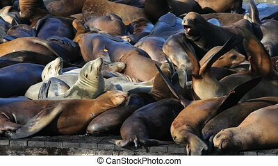 Sea Lion Crowd - Sea lions sunning themselves on an...