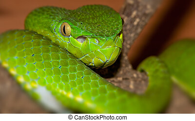 Viper portrait -  Venomous green viper close-up portrait