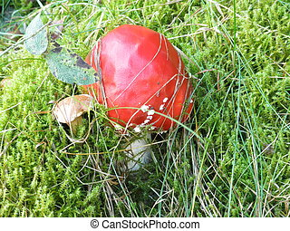 Fly agaric - a fly agaric in moss