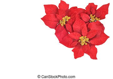 Poinsettias flower - Tree Christmas flower poinsettia on a...