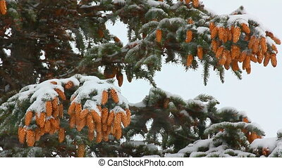 snow-covered fir with cones and snow