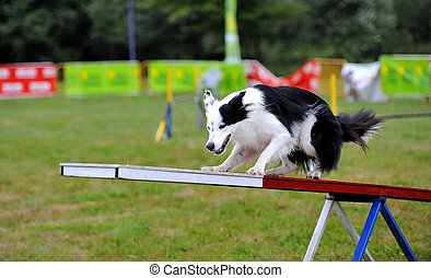 Border Collie in Agility Competition - Border Collie in...