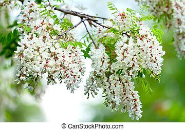 Acacia - Many beautiful flowers of the acacia tree