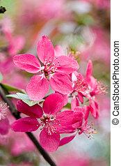 apple bloom - nature series: pink apple bloom in spring...
