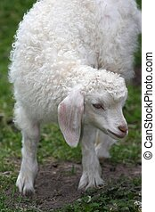 Angora Goat Lamb - Cute white angora goat lamb with large...