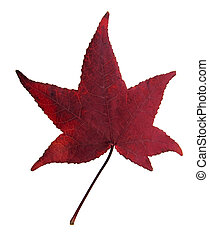 Red maple leaf - Autumn Red maple leaf isolated on white...