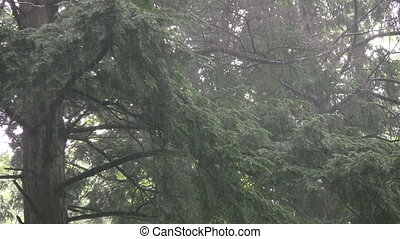 Rainy trees - A very heavy rain falls on the branches of an...