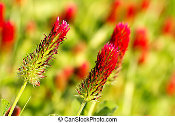 Alfalfa - Beautiful red alfalfa flower field