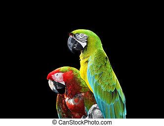 dos, colorido, papagallo, loros, aislado, negro, Plano de...
