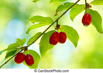 Cornel - Fine dogberry fruits on the branch