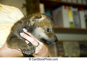 Baby wolf in hand - European gray wolf puppy (Canis lupus)