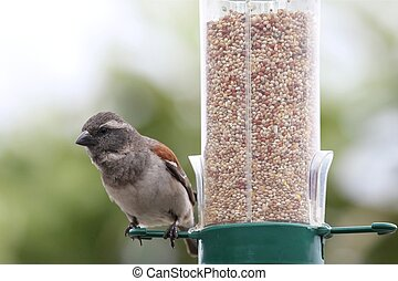 Sparrow on Bird Feeder - House sparrow bird on a bird feeder...