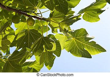 Fig Tree on Samos