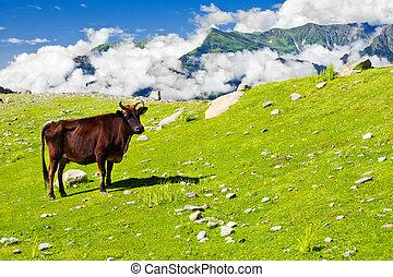 Wild skinny cow in Himalaya