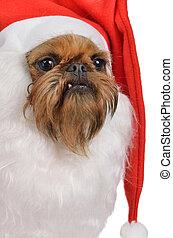 Funny bearded Santa dog of griffon breed