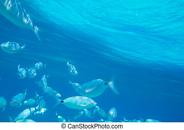 Saddled bream fish school underwater mediterranean in...