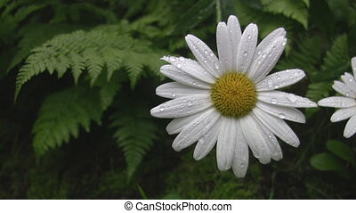 Wet daisy. - Wet daisy and ferns. Gentle movement.