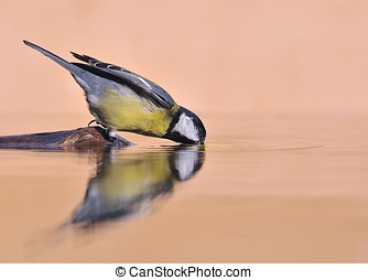 Great tit bebiendo agua