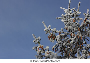 pine branch with cones - The pine branch with cones