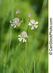 Beautiful dewy flowers of the Bladder Campion, a vertical...