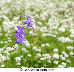 Blue campanula in the meadow