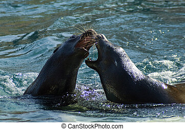 Sea lions - California sea lion Zalophus californianus