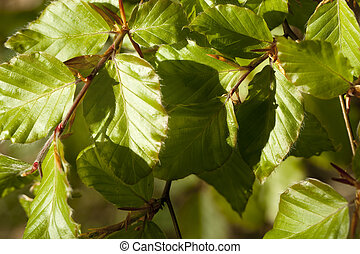 harnbeam - new, fresh leaf (carpinus betulus) as background