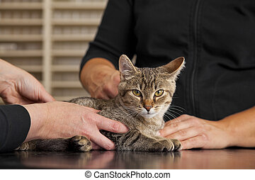 domestic cat being examined - A domestic cat being examined...