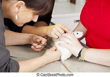 domestic rat being sutured - A domestic rat getting sutured...