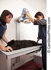 veterinarian preparing dog - A veterinarian preparing a dog...