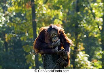 Bornean orangutan (Pongo pygmaeus)